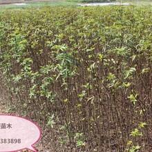 花椒樹苗當年掛果的樹苗圖片