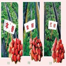 河北省唐山市草莓苗批发的价格土地到期只求卖出果树苗购买找山东果硕苗木图片