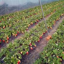 京桃香草莓苗根系发达现挖现卖图片