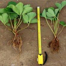 河北省邢台市妙香草莓苗2年苗多少钱一棵什么品种好图片