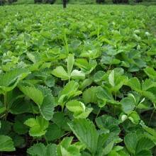 河北省唐山市京桃香草莓苗土地到期只求卖出如何种植好图片
