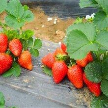 红颜草莓苗果树苗批发图片