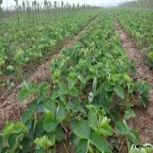 河北省承德市章姬草莓苗品种优纯度高保成活图片