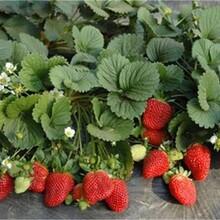 河北省承德市章姬草莓苗根系发达现挖现卖图片
