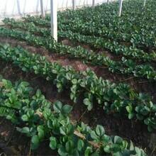 河北省承德市京桃香草莓苗果树苗购买找山东果硕苗木图片