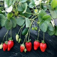河北省张家口市甜查理草莓苗优质苗批发根系发达现挖现卖图片