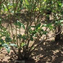 河北省石家莊市三年兔眼藍莓苗多少錢一棵如何種植好圖片
