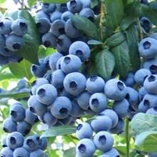 河北省秦皇岛市一年北陆蓝莓苗不赚钱吐血卖如何种植好图片