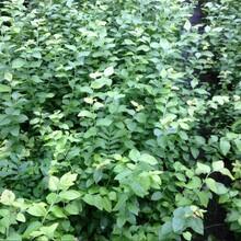 河北省唐山市藍莓苗土地到期只求賣出附近哪里出售圖片
