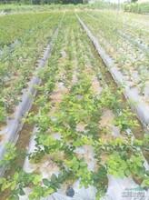 河北省張家口市一年北陸藍莓苗優質苗批發果樹苗購買找山東果碩苗木圖片