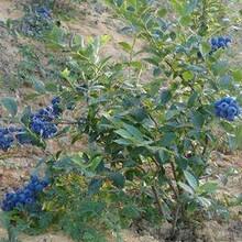 河北省張家口市四年萊克西藍莓苗優質苗批發品種優純度高保成活圖片
