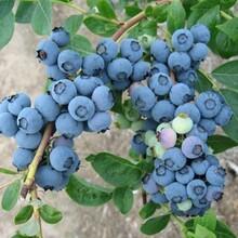 河北省石家莊市四年萊克西藍莓苗多少錢一棵根系發達現挖現賣圖片