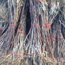 门头沟区无籽山楂苗低价出售保成活当年挂果的树苗图片