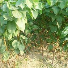 河北区极早熟杏树苗保证成活率图片