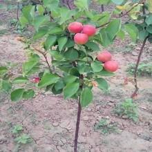 河北区晚红杏苗保证成活率杏树苗的选购技巧图片