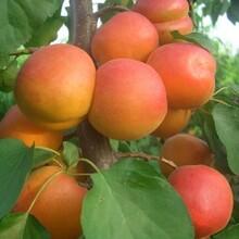 和平区仰韶大杏苗杏树苗种植方法种植技术杏树苗基地直销的价格图片