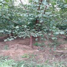 红桥区2公分凯特杏树一亩地种多少棵杏树苗品质好的怎么选择图片