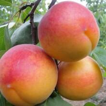 西青区杏树苗3公分珍珠油杏树图片