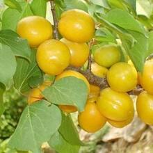 河北区杏苗新品种保证成活率杏树苗的功效与作用图片
