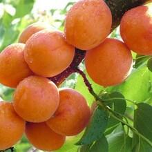 西青区杏树苗4公分红丰杏树苗杏树苗基地直销的价格图片