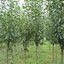 西青区杏树苗晚红杏苗杏树苗的功效与作用图片