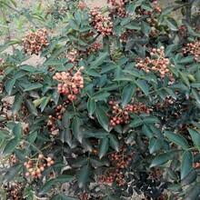 南开区九叶青花椒苗花椒苗的药用价值品质好的怎么选择图片