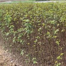 南开区九叶青花椒苗花椒苗的药用价值花椒苗的功效与作用图片