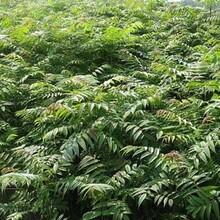 和平区黑油椿香椿苗香椿苗种植方法种植技术图片
