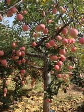 河北省沧州市专业种植苹果苗图片