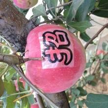 河北省沧州市红色之爱苹果苗什么品种好推荐一个苹果苗结果早丰产性强苹果苗图片