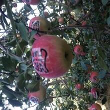 河北省承德市烟富10号苹果苗低价出售保成活结果早丰产性强苹果苗图片