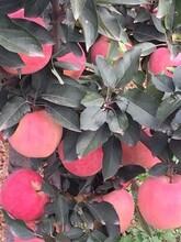 河北省石家庄市红肉苹果苗图片