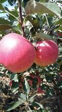河北省衡水市红色之爱苹果苗什么品种好推荐一个苹果苗图片