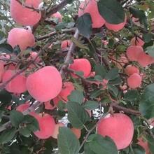 河北省唐山市新品种介绍苹果苗结果早丰产性强苹果苗图片