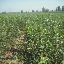 河北省唐山市红蛇果苹果苗应注意的关键问题保成活苹果苗栽培养护图片