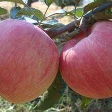 河北省石家庄市红嘎啦苹果苗今年哪个品种好苹果苗专业种植苹果苗图片