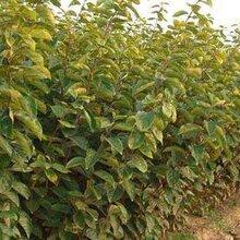 河北省石家庄市阜新柿子苗哪里买柿子树苗栽培养护图片
