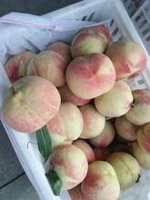 河北省廊坊市97秋甜桃苗優質品種千萬別錯過保成活應該如何種植桃樹苗圖片