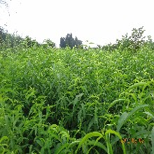 河北省保定市97秋甜桃苗今年哪個品種好桃樹苗專業種植桃樹苗圖片