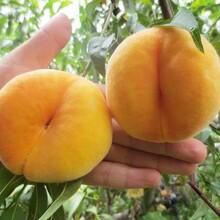 河北省張家口市永蓮蜜桃7號桃樹苗價格低結果多桃樹苗應該如何種植桃樹苗圖片