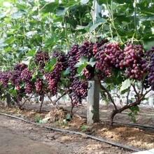 河北省张ub8优游注册专业评级网口市春红葡萄苗价格低结果多葡萄苗应该如何种植葡萄苗图片