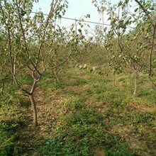 河北省張家口市3公分凱特杏樹價格低結果多杏樹苗專業種植杏樹苗圖片