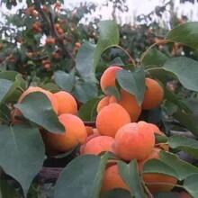 河北省承德市杏李樹苗低價出售保成活杏樹苗種植要領圖片