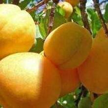 河北省衡水市4公分金太陽杏樹苗杏樹苗批發價格是多少保成活結果早豐產性強杏樹苗圖片