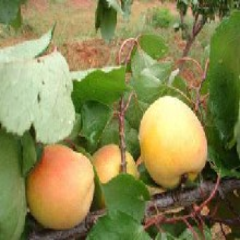 河北省衡水市3公分西梅樹苗杏樹苗批發價格是多少保成活應該如何種植杏樹苗圖片