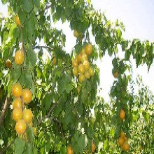 河北省承德市5公分紅豐杏樹低價出售保成活杏樹苗修剪技術圖片