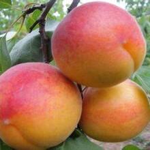 河北省秦皇島市5公分紅豐杏樹應注意的關鍵問題保成活應該如何種植杏樹苗圖片