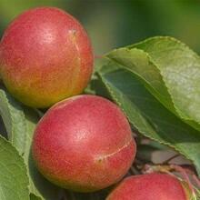 河北省廊坊市3公分凱特杏樹優質品種千萬別錯過保成活杏樹苗栽培養護圖片