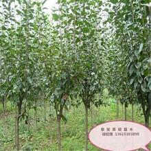河北省保定市1公分紅豐杏樹苗今年哪個品種好杏樹苗應該如何種植杏樹苗圖片