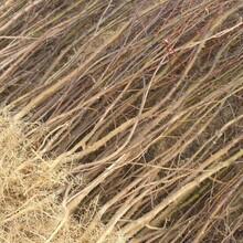 河北省石家庄市无刺花椒苗售价是多少品种优纯度高花椒苗繁育基地花椒苗图片